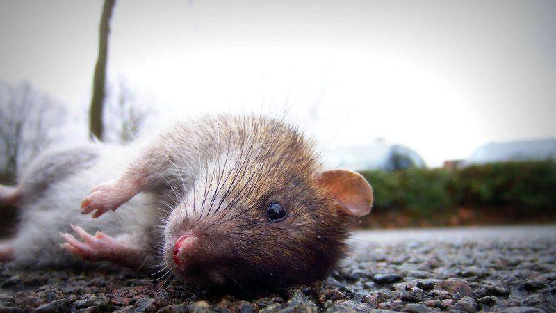 Råtta. Foto: René Gademann by flickr