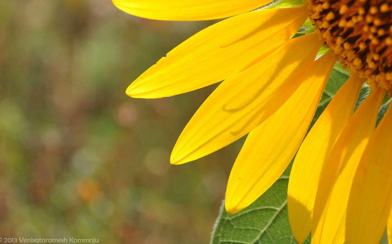 Sunflower By Venkataramesh från Flickr.com