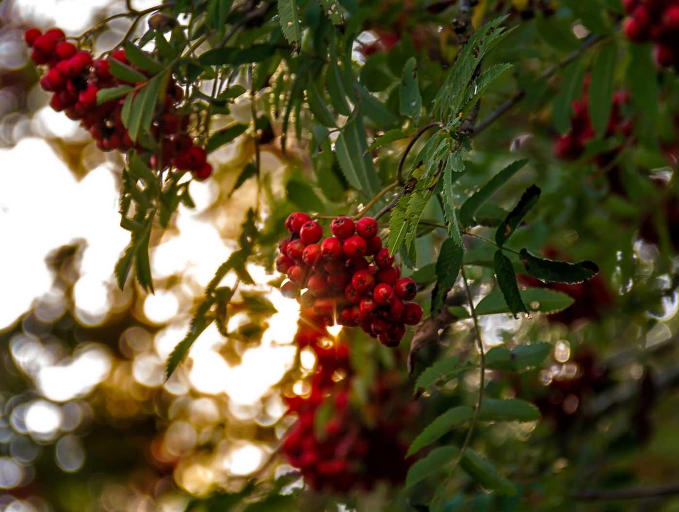 Rönnbär Foto: Ludwig Sörmlind by: flickr.com