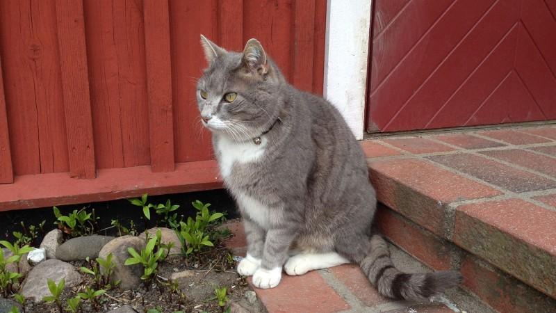 Katt med halsband. Foto: Lisbeth Svensson