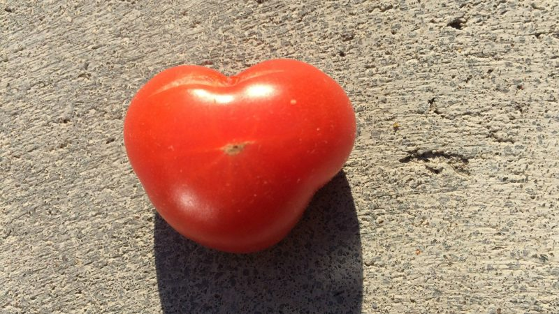 Hjärtformad tomat. Foto: Taina Ahola