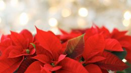 Julstjärnor. Foto: TerriC via Pixabay