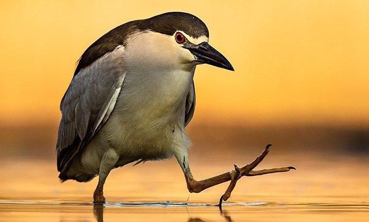 Attityder hos djur! Den prisbelönte fågel- och djurfotografen Brutus Östling ställer ut i Staffanstorps konsthall. Foto: Brutus Östling